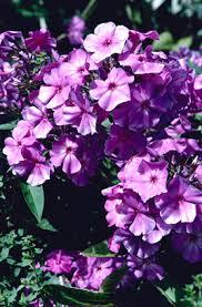 Phlox Flower Rhs Advice U0026 Tips On Garden U0026 Indoor Plants Plant Finder