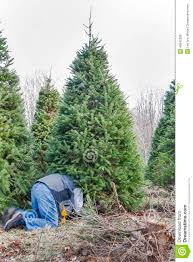 a man cutting down a christmas tree on a tree farm stock photo