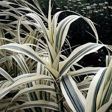 152 best ornamental grasses images on ornamental