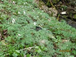native plants of tennessee garlic mustard southern appalachian highlands conservancy