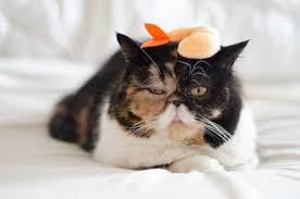 here s why calico cats are the coolest meowingtons