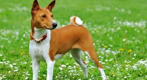 afghan hound least intelligent top 10 least intelligent dog breeds in the world u2013 top ten
