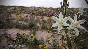 desert wildflowers anza borrego road trip tips
