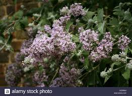 native plants of pakistan himalayan butterfly bush buddleja crispa scrophulariaceae