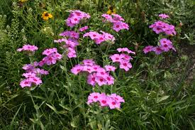 florida native plants pictures native florida wildflowers roadside annual phlox phlox drummondii