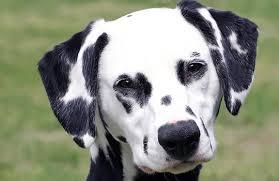 dalmatian breed photos temperaments trivia breed