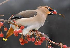 why backyard birds are getting drunk on fermented berries