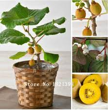 visit to buy kiwi fruit seeds potted plants mini tree nutrition
