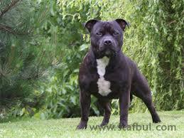american pitbull terrier z hter deutschland slade czech kennel staffordshire bull terrier