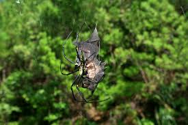 spiders could eat every human on earth in just 1 year u2022 wildlifepower