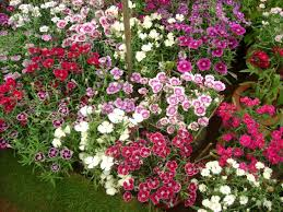 sweet william flowers flowers for flower sweet william flowers picture