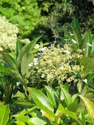 Climbing Plants For North Facing Walls - shade hydrangeas u2014 sunnyside nursery