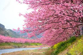cherry blossoms images cherry blossom tree images u0026 stock pictures royalty free cherry