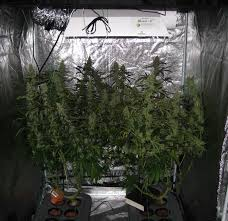 how well would a plant grow under pure yellow light 600w hydroponic grow journal 23 09 oz harvest grow weed easy