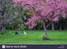 flowering crabapple tree stock photos flowering crabapple tree