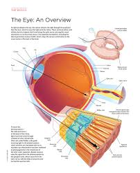 What Structure Of The Eye Focuses Light On The Retina What The Sun Does To Photoreceptors The Scientist Magazine