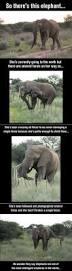 1221 best elephants images on pinterest animals little elephant