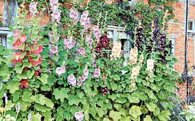 how to grow english cottage garden plants telegraph