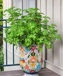 Best Plant For Mosquito Repellent Mosquito Plant Bonnie Plants