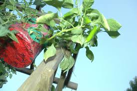 family gardening growing vegetables in the topsy turvy inverted or hanging planter