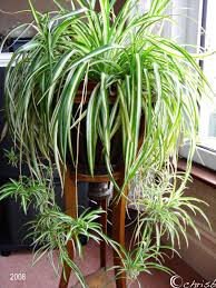 spider or airplane plants are easy to grow in hanging baskets