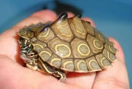 map turtle map turtles graptemys