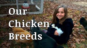Backyard Chicken Breeds by Our Backyard Chicken Breeds Youtube