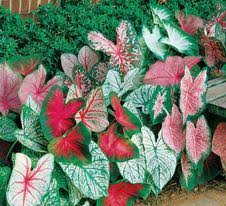 wholesale caladium bulbs from adr bulbs