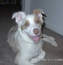 pictures of australian shepherd dogs australian shepherd dog breed pictures 1
