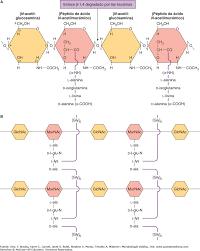 estructura celular microbiología médica 26e accessmedicina