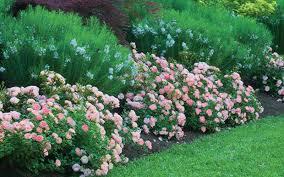 drift roses buy apricot drift groundcover for sale online from wilson