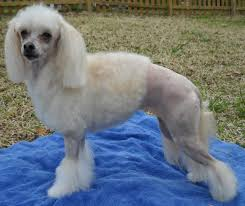 pictures of poodle haircuts summer haircuts poodle forum standard poodle toy poodle