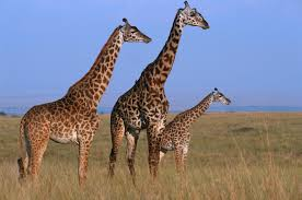 video fighting giraffes use their necks as swords time com