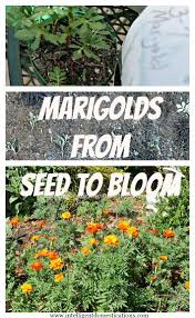 Marigolds Shade by Marigold Dwarf Safari Mix Marigolds Pinterest Dwarf And