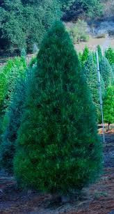 tree photos paradise christmas tree farm