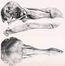 dodo sauropod vertebra picture of the week
