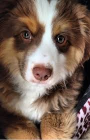 twin oaks 2 australian shepherd 19 reasons australian shepherds are the best looking dogs in the