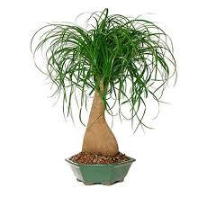 ponytail palm bonsai tree bonsai plants and unique plants