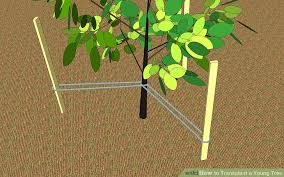 Transplant Fruit Trees - how to transplant a young tree 9 steps with pictures wikihow