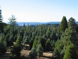 2012 guide to bay area u0027s christmas tree farms and lots cbs san