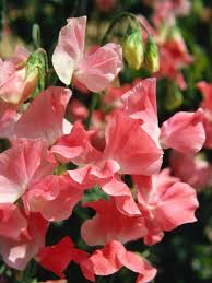 sweet peas how to plant grow and care for sweet pea flowers