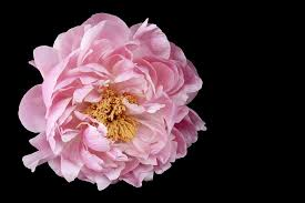 Peonies Flower Peonies Free Pictures On Pixabay