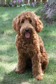 doodle doo labradoodles chocolate labradoodle search wonderful waggly world of