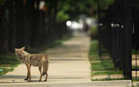 Can Coyotes See Red Light Why Aren U0027t Coyotes Dingoes And Wolves Treated Like Our Dogs