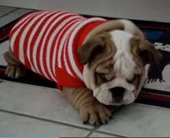 bulldog puppy hates his new sweater