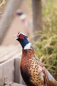 ring necked pheasant u2013 dirt road wife