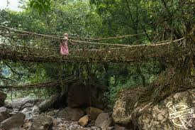meet the small tribe famously known for building bridges from fig