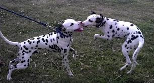 dalmatian dog breed information pictures