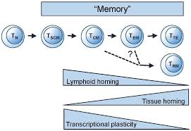 vaccines free full text human t cell memory a dynamic view html
