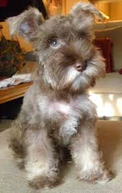 australian shepherd schnauzer mix miniature schnauzer german shepherd mix dog and cat